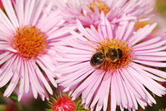 Bee on a pink flower stock image