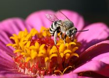 BEE ON A PINK FLOWER Royalty Free Stock Photos
