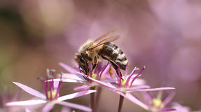 Bee and pink flower Royalty Free Stock Photography