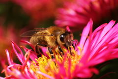 Bee on pink flower Stock Image