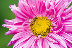 Bee on a pink flower Royalty Free Stock Images