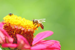 Bee on pink flower Royalty Free Stock Photography