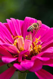 Bee on pink flower Stock Photos