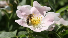 Bee on a pink flower stock video footage
