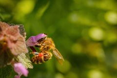Bee on a pink flower collecting pollen and gathering nectar to p Royalty Free Stock Image