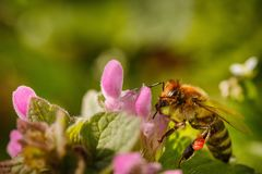 Bee on a pink flower collecting pollen and gathering nectar to p Royalty Free Stock Photo