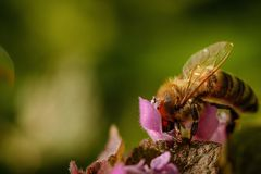 Bee on a pink flower collecting pollen and gathering nectar to p Stock Image