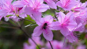 Bee on a pink flower stock footage