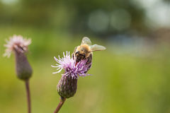 Bee on a pink flower Field thistle. Stock Photos