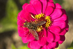 Bee on pink flower Royalty Free Stock Images