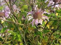 Bee on Monarda Flower. Royalty Free Stock Image