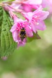 Bee on a Pink Flower. Large Bee Pollinating a Pink Flower with Green Leaves Stock Photo