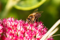 Bee on pink flower. Shallow depth of field Royalty Free Stock Photo