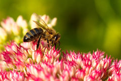 Bee on pink flower. Shallow depth of field Royalty Free Stock Photography