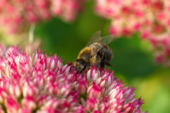 Bee on pink flower. Shallow depth of field Royalty Free Stock Photos
