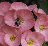 Bee on Pink Flower Stock Images