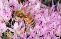 Bee on pink flowers. In the sun macro shot Stock Photos
