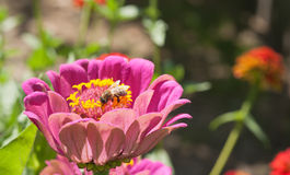 Bee on Pink flowers Stock Image