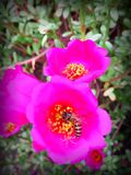 Bee. Pink Flowers Stock Image