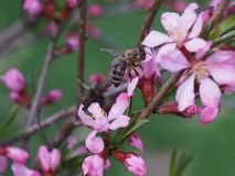 Bee on a pink shrub flower Almond. royalty free stock images