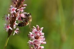 Bee on pink flowers. Bee on pretty pink flowers Stock Image