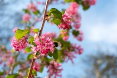 Bee and pink flowers in spring royalty free stock image