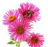 Bee on pink flowers. Stock Image