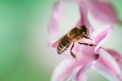 Bee on a pink hyacinth flower. Bee on a pink hyacinth flower stock photo