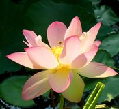 Bee with pink lotus. Bee flying on backlit pink lotus royalty free stock photography