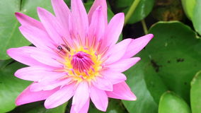 Bee on pink lotus. stock video footage