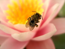 A bee on a pink lotus flower Royalty Free Stock Photography