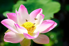 Bee with pink lotus Royalty Free Stock Photo