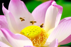 Bee with pink lotus Royalty Free Stock Images