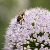 Bee on pink planet allium flower Stock Photography