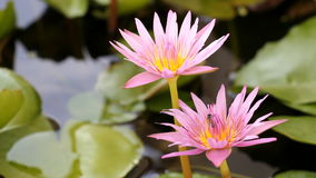 Bee with pink purple water lily. Lotus flower blooming,macro close up stock video