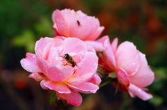 Bee on pink rose Royalty Free Stock Photo
