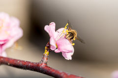 Bee on the pink sakura. Flower. blur backgroud royalty free stock images