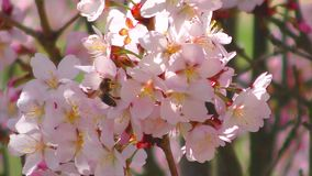 Bee on the pink sakura flower real time stock video footage