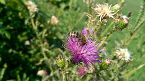 Bee on pink wild flower royalty free stock photography