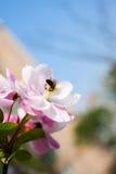 Bee on Plum blossom stock image