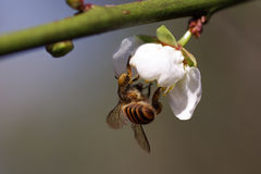 Bee and Plum Blossom Royalty Free Stock Photo