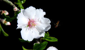 Bee flying on a plum blossom. Isolated on black background royalty free stock image
