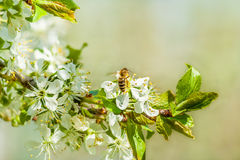 Bee on plum blossoms. Close up. Bee on spring plum blossoms. Close up royalty free stock photography