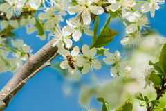 Bee on plum blossoms. Bee on spring plum blossoms Royalty Free Stock Image