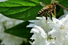 Bee polinating on the white flower macro stock photo