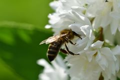 Bee polinating on the white flower macro stock image