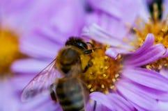 Bee on the purple diasy stock photos