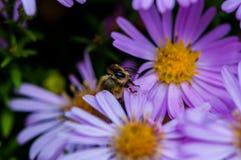 Bee on the purple diasy stock photo
