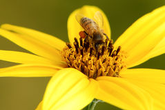 Bee and pollen Royalty Free Stock Images