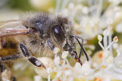 Bee and pollen. A bee dusting a blossom royalty free stock photography